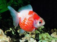 گلدفیش بیشه سفید قرمز (Red & White Moor)