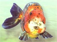 گلدفیش کله شیری سه رنگ (Tricolor Lion Head)