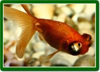 گلدفیش بهشتی قرمز (Red Celestial)