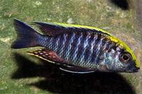 سیچلاید اولونوکارای سر سولفوری (Sulfurhead Aulonocara)