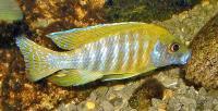 سیچلاید جاکوب فِریبِرگی زرد (Yellow Jacobfreibergi)