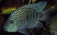 سیچلاید مرواریدی (Pearlscale Cichlid)