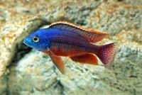 سیچلاید بوآدزولو هاپلوکرومیس (Haplochromis Boadzulu)