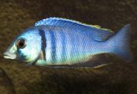 سیچلاید جانی (Haplochromis Jahni)