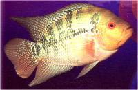 سیچلاید کارولئوس چشم قرمز (Red Eye Caeruleus)