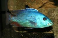 سیچلاید فاسکو هاپلوکرومیس (Haplochromis Fusco)