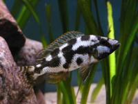 سیچلایدلیوینگ اِستونی هاپلوکرومیس ( Haplochromis Livingstini)