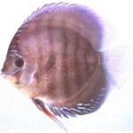 انواع ماهی دیسکاس
