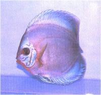 دیسکاس لاجوردی ارغوانی (  Purple Cobalt Discus)