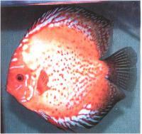 دیسکاس نارنجی خال قرمز ( Red Spotted Orange P. Discus)