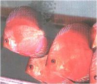 دیسکاس قهوه ای خال قرمز ( Red Spotted Brown Discus)