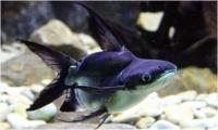 گربه ماهی سیاه گوش (  Black Ear catfish)