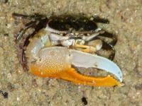 خرچنگ فیولدِر (Fioldler Crab)