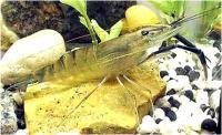 میگو غول پیکر (Giant Freshwater Prawn)