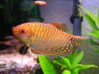 گورامی طلایی (Golden Gourami)