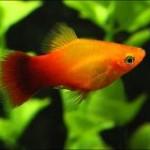 انواع ماهی پلاتی