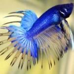 انواع ماهی جنگجو