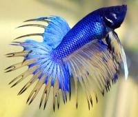 جنگجوی دم تاجی - نر( Male Crown Tail Betta)
