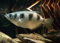 ماهی کمان دار (Archer Fish)
