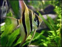 فرشته ماهی گوره خری زرد (Yellow Zebra Angel Fish)
