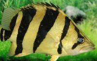 ماهی ببری اصیل (Genuine Tiger Fish)