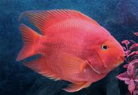 پرت قرمز (Red parrot)