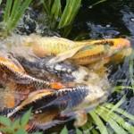 تکثیر ماهی کوی شیوه ها و نحوه کار (قسمت اول)