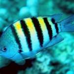 دوشیزه ماهی (Abudefduf)
