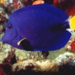 جراح ماهی (Acanthuridae)