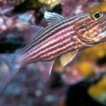 ماهی کاردینال(Apogonidae)
