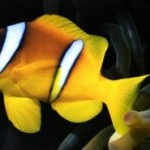 دلقک ماهی راه راه (Banded Clownfish)
