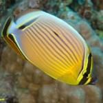 پروانه ماهی (Chaetodontidae)