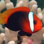 دلقک ماهی دارچینی (Cinnamon Clownfish)