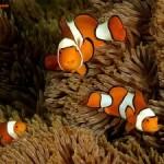 دلقک ماهی(Anemone Fish)
