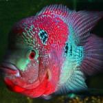 ماهی فلاور