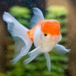 تصاویری از ماهی گلدفیش (Goldfish Photo)