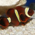 دلقک ماهی خرمایی (Maroon Clownfish)