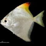 ماه ماهی(Monoclacty lidae)