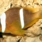 دلقک ماهی عمان (Oman Anemonefish)