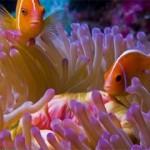 دلقک ماهی شانک صورتی (Pink Skunk Clownfish)