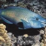 طوطی ماهی(Scaridae)