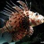 عقرب ماهی (Scorpaenidae)