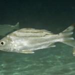 ببر ماهی (Theraponidae)