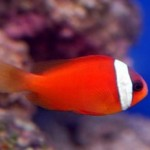 دلقک ماهی گوجه فرنگی (Tomato Clownfish)