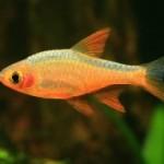 ماهی رازبورا ( Rasbora Fish )