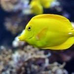 ماهی تانگ زرد (Yellow Tang)
