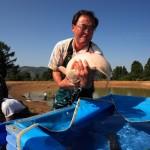 تکثیرو پرورش ماهی های کوی در مزارع ژاپن ( ویدیو )