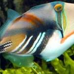 ماهی پیکاسو