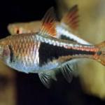 ماهی رازبورا