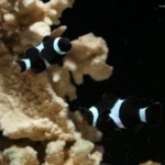دلقک ماهی سه خط (three band clownfish)
